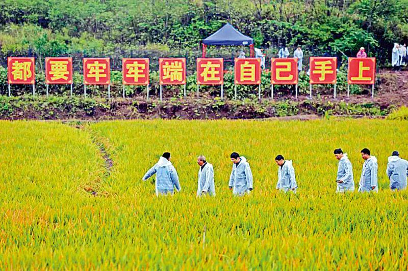 盛图官网注册:1603.9公斤 袁隆平团队水稻亩产再创纪录